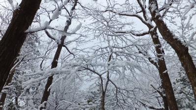 3雪花木1