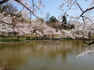 7県民公園池の桜