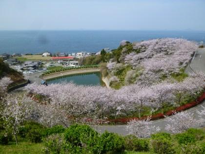 潮風ふれあい公園千人塚の見事な桜
