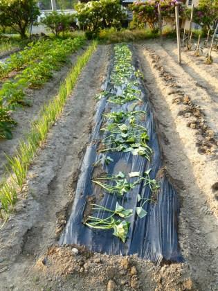 黒いビニールマルチをかけたサツマイモ畑