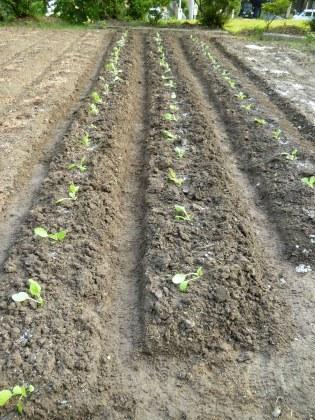 セル苗の白菜を植える