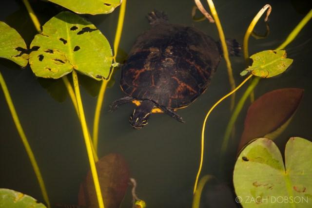 everglades national park anhinga trail turtle