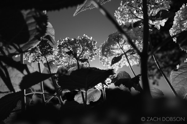black and white nature photography hydrengea