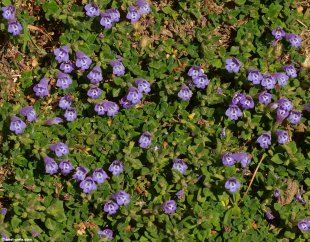 satureja_alpina-4large