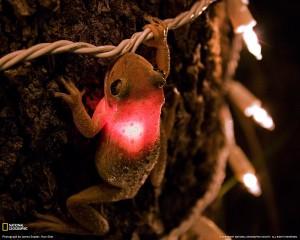 cuban-tree-frog-081709-xl