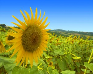sunflower1280x1024