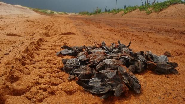 Filhotes de tartarugas esmagados por carro em paria de São Miguel do Gostoso