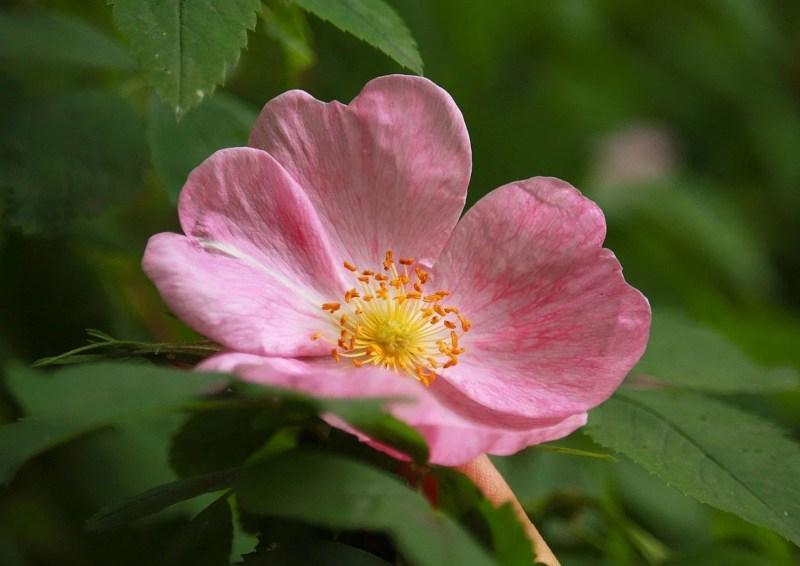 la rosa mosqueta