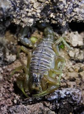 Buthus occitanus