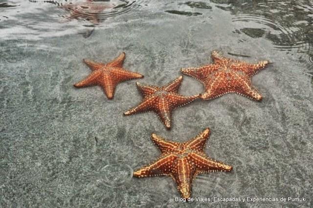 Grupo de Estrellas de mar (Asteroidea) en Bocas del Toro, Panamá