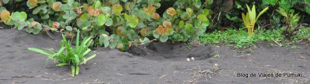 Nido de tortuga en la playa de Tortuguero, la visita nocturna para ver el desove es una excursión imprescindible en el curriculum de un viajero