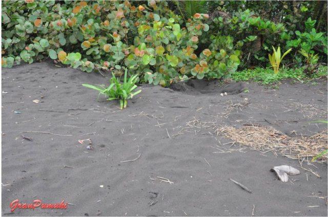 Falso nido de huevos de tortuga en la playa de Tortuguero