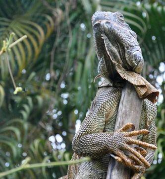 Iguana Gigante en Tortuguero