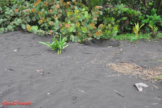 Falso nido de tortuga en la playa de Tortuguero. En blog de viajes, Tortuguero, Costa Rica con niños