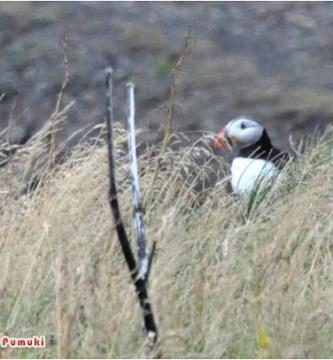 Donde ver frailecillos en Islandia, Dyrhólaey