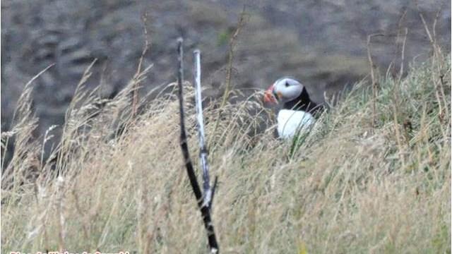 Es posible observar el vuelo los frailecillos en varios lugares de Islandia y especialmente en Dysloraley