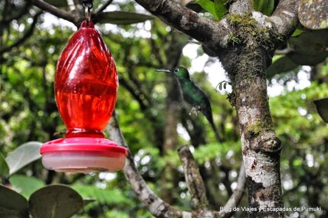 La habilidad del colibrí para hacer vuelo estático, se comprueba cuando se acercá al alimentador