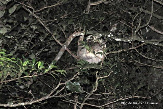 perezoso de 2 desdos en tour nocturno de Monteverde
