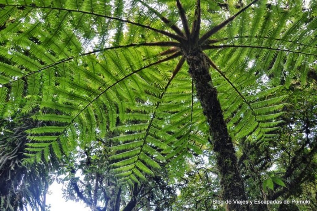 Helecho Gigante en Reserva Biológica de Bosque uboso de MonteverdeMonteverde
