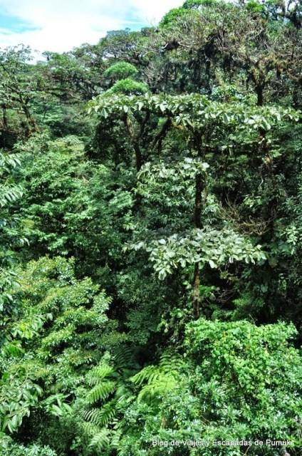 Vista del bosque desde lo alto del Puente Wilford Gindon Se pueder ver epifitas, helechos gigantes y lianas