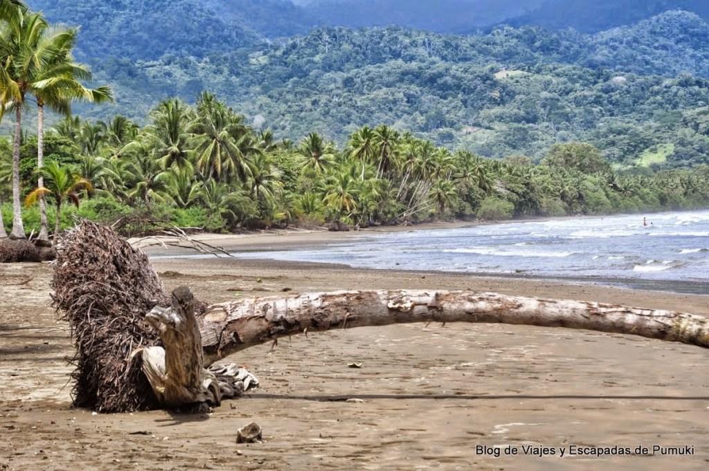 Palmera caída en playa Ballena