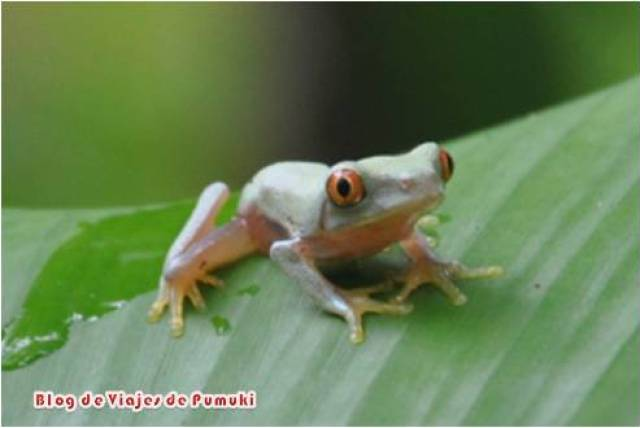 La rana de ojos rojos es símbolo dee Costa Rica