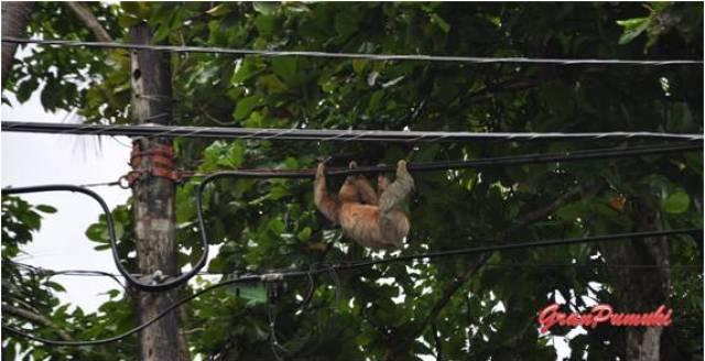 Costa Rica es pura vida. El mono perzoso sale de su habitat para moverse por el tendido eléctrico. Léelo en Blog de viajes con niños por Costa Rica
