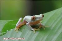 El símbolo de Costa Rica es la rana de Ojos Rojos, muy venenosa. Blog de Viajes a Costa Rica