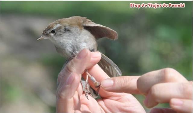 Anillamiento científico de aves cerca de Madrid. Actividad ideal para niños