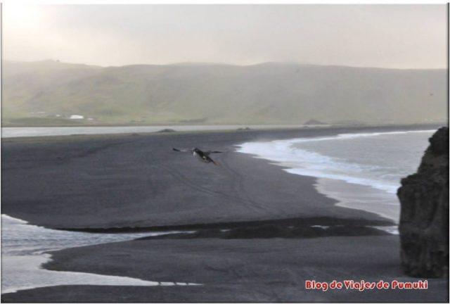 Frailecillos en Dyrhólaey, Islandia