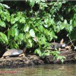 Tortuga en los caños de Tortuguero, Costa-Rica