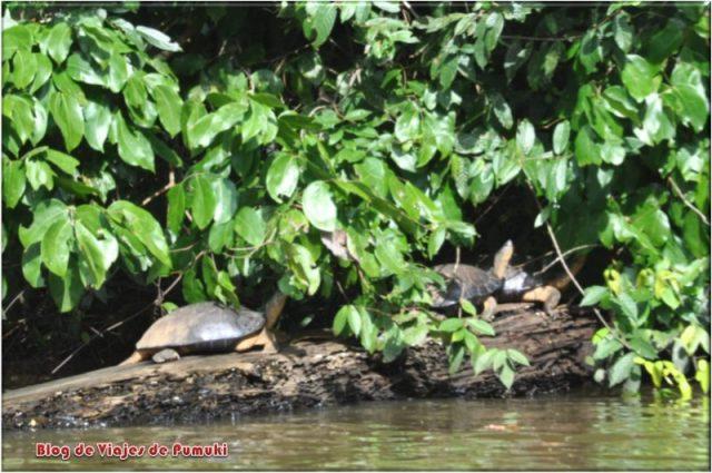 Tortugas de agua dulce en la selva desde los canales de Tortuguero