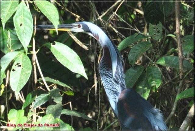Garza Agami de pluma azul en Tortuguero, Costa Rica