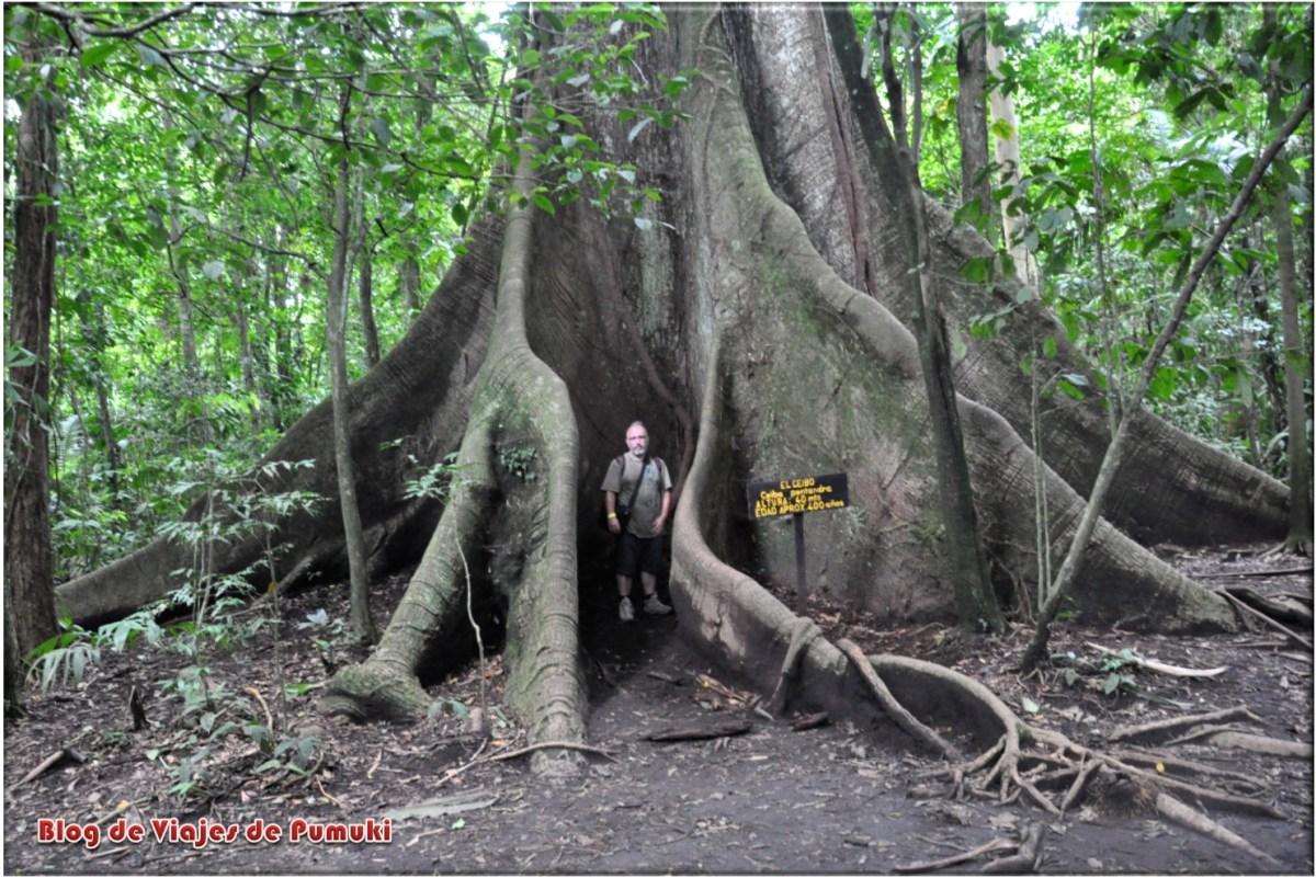 Ceibo centenario de 400 años en Arenal