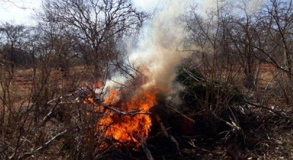 Polícia Federal destrói mais de 20 mil pés de maconha no Sertão de Pernambuco
