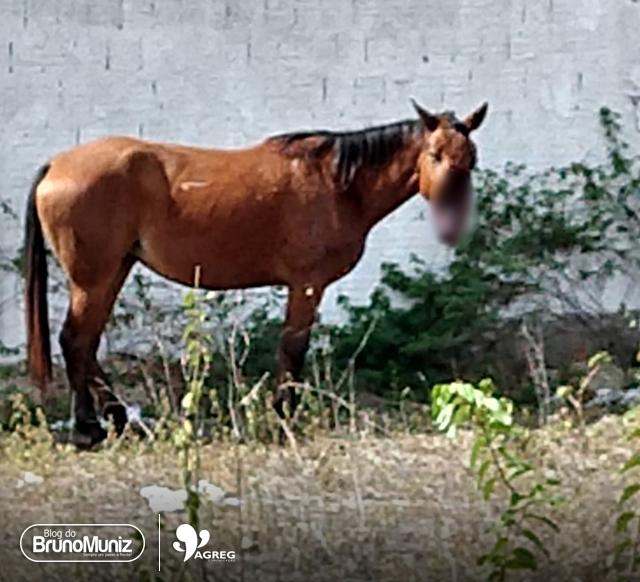 Santa Cruz do Capibaribe – Cavalo ferido foi sacrificado