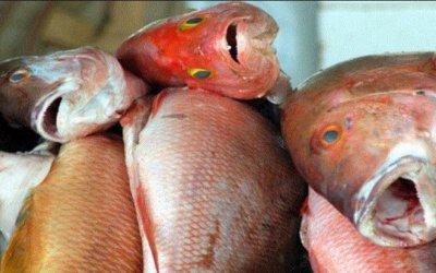 Saiba tudo sobre a Síndrome de Haff, a doença da urina preta provocada por toxina do peixe