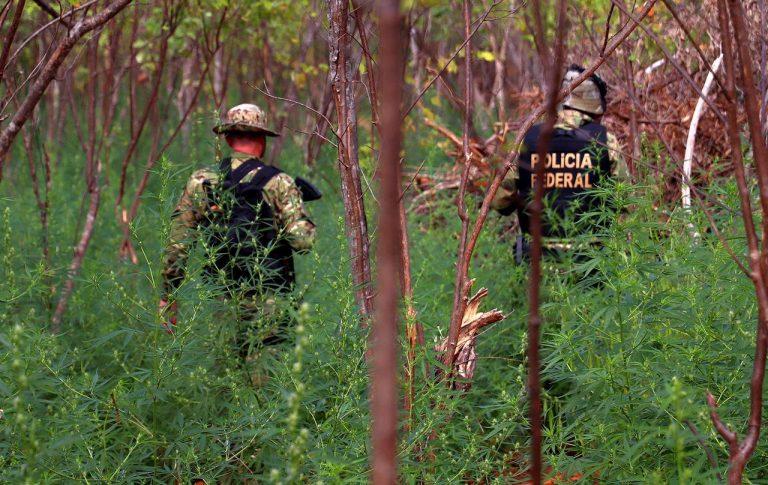 Operação integrada erradica 58 mil pés de maconha no Sertão de Pernambuco