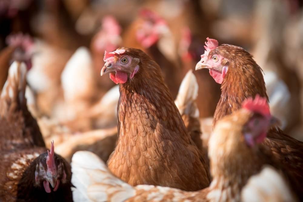 Carne de porco, ovos e frango podem ficar até 50% mais caros, estimam produtores