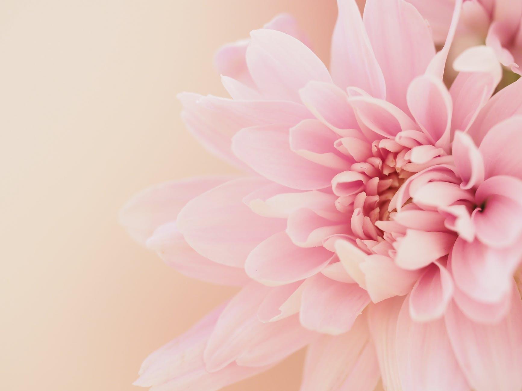 dahlia flower on light pink background