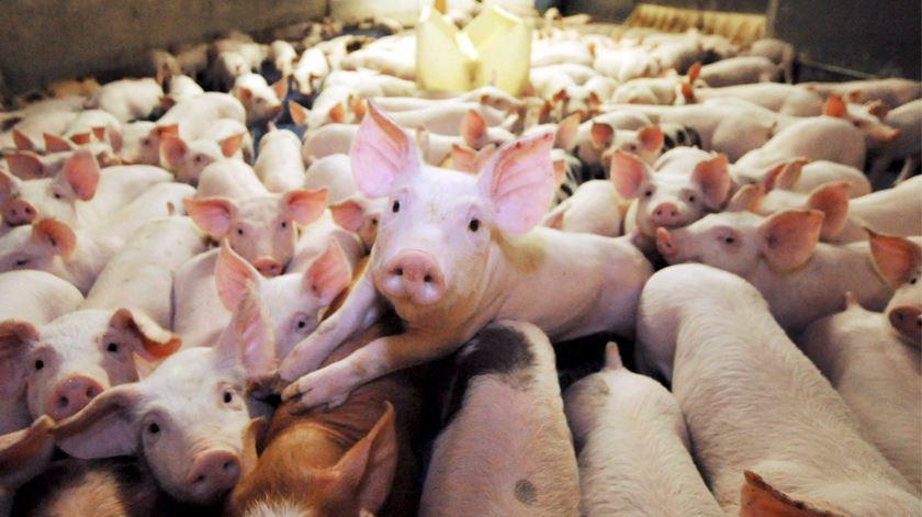 Carne de porco em alta entre os brasileiros