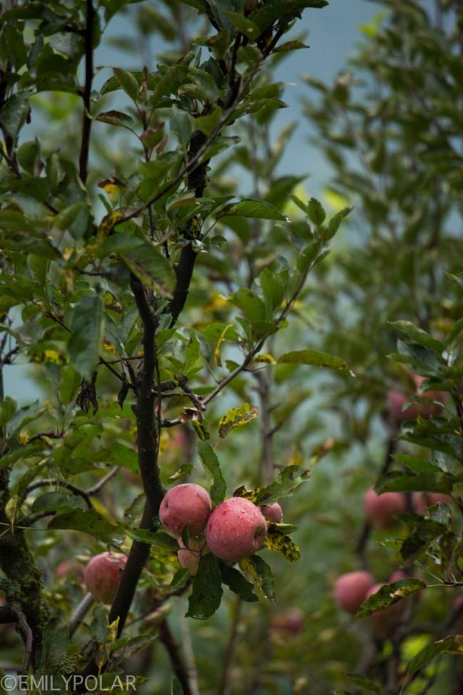 Apples growing on the trees in Vashisht, India.