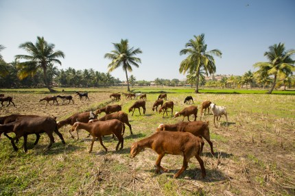 Goats grazing in the rice fields of Hampi, India.