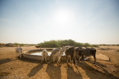 Ox hang out at watering hole in the desert of Rajasthan in India.