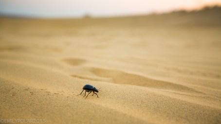 Desert beetle walks fast with little legs across hot sand in the Thar Desert near the Pakistan Border.
