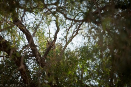Owl eyes peeking out of a tree in the Thar desert.