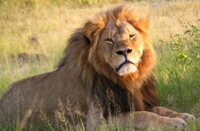 O leão Cecil e o mundo estranho em que vivemos
