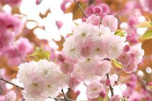 八重桜,寿命