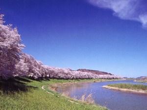 2020,白石川一目千本桜,見ごろ,駐車場