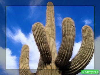 Кактус - в мире колючек: Энциклопедия кактусов с фото